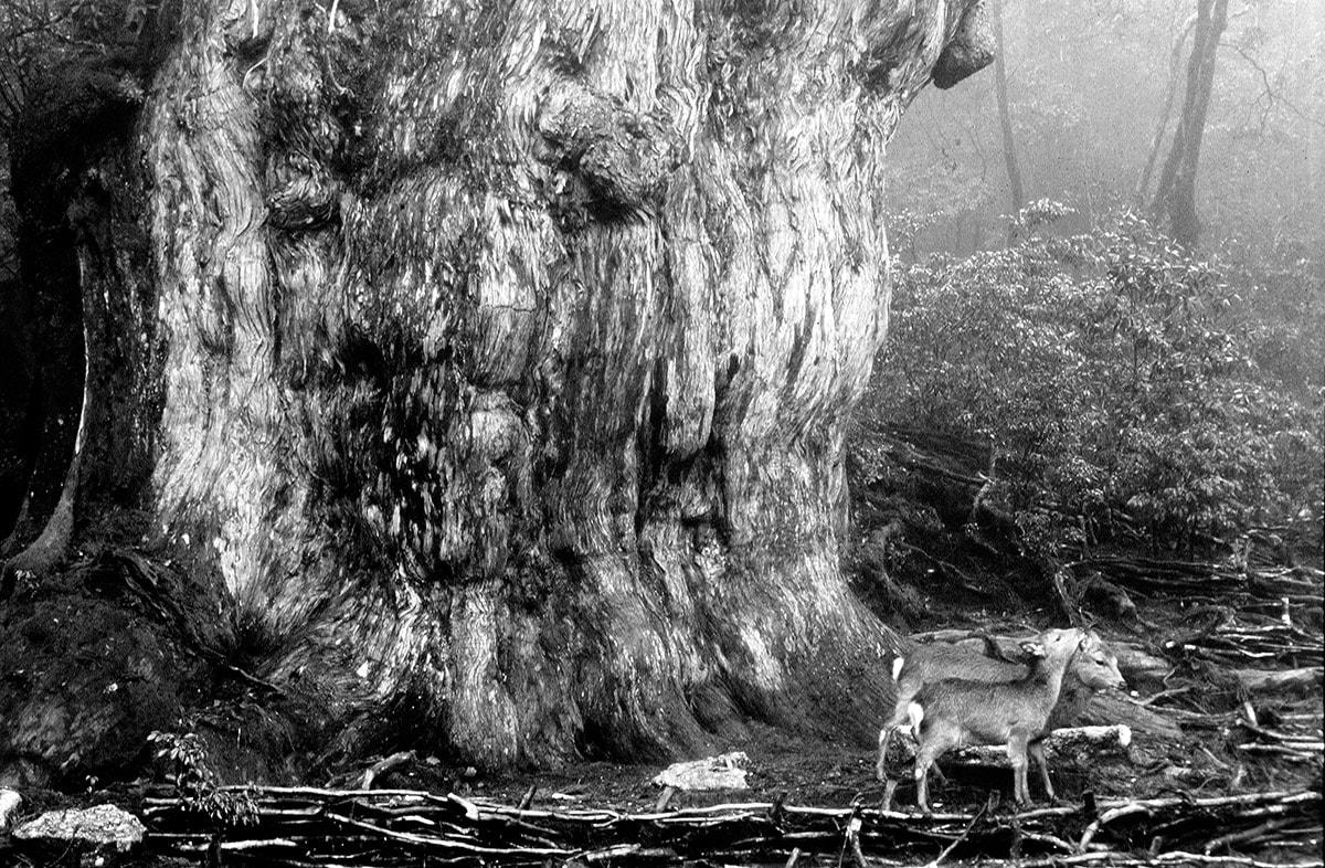 縄文杉とヤクシカ