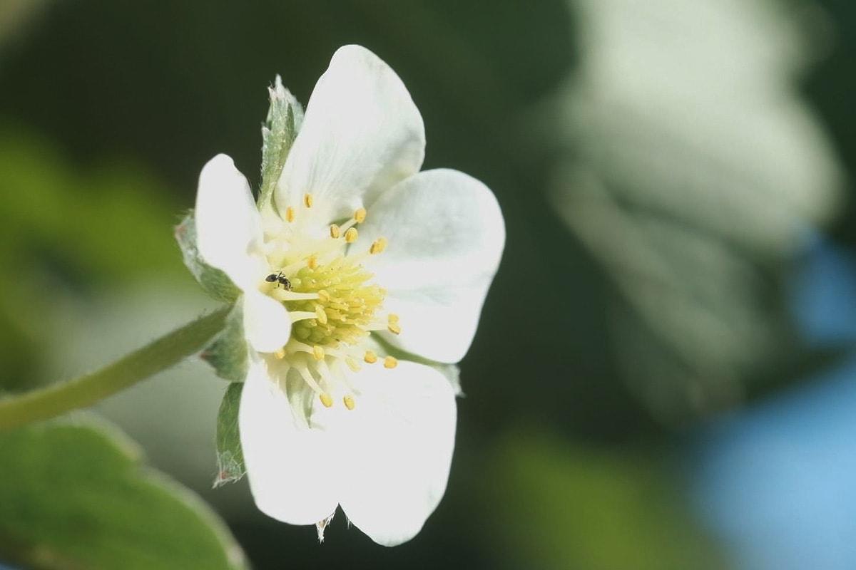 花を咲かせるイチゴの苗