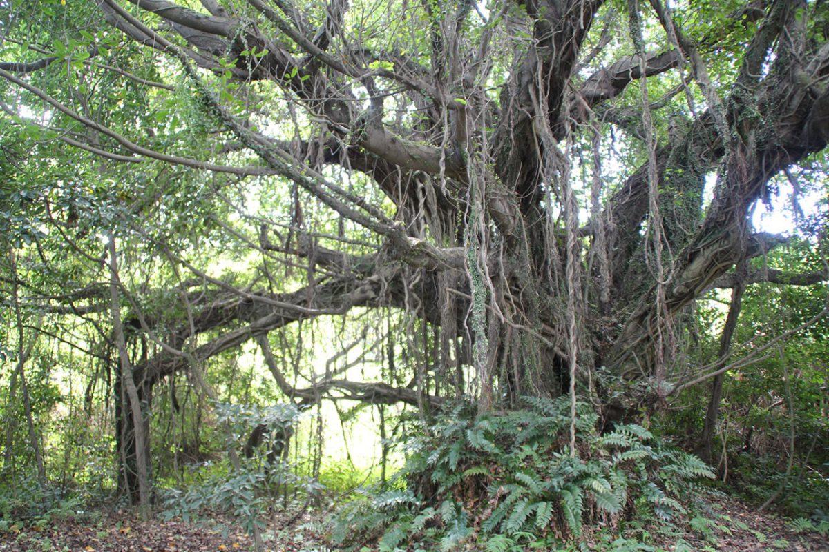 絡み合う幹や垂れ下がる木根が印象的なアコウの巨木
