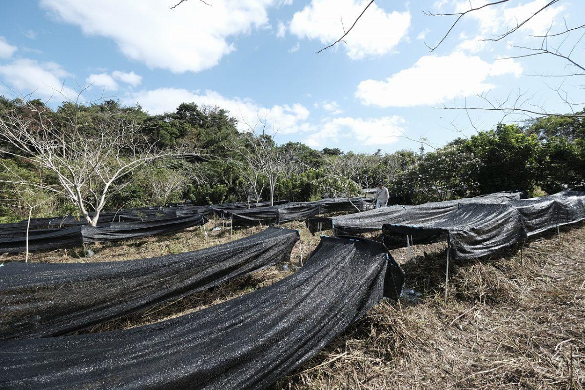 初めて珈琲つくりを始めた畑。現在は他に1ヶ所の珈琲畑と珈琲の森を所有