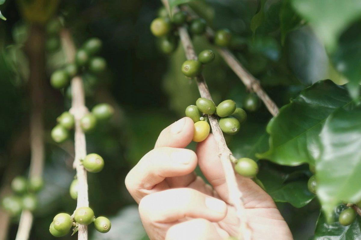 実をつける珈琲の木